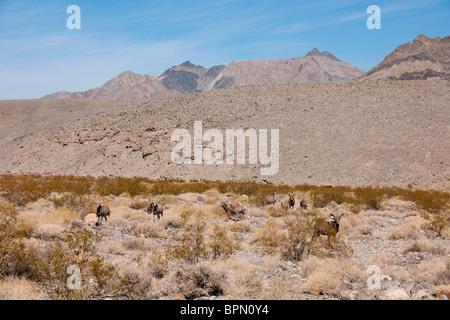 Bighorn sheep, Ovis canadensis, Death Valley National Park, California, USA - Stock Photo