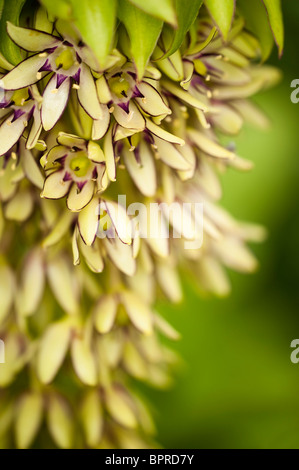 Eucomis bicolour, Pineapple Lily, in flower - Stock Photo