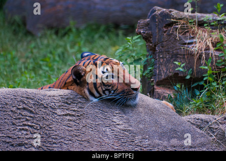 Malayan tiger  (Panthera tigris jacksoni, Malay: Harimau Belang) - Stock Photo