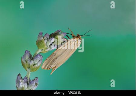 Feathered Footman (Coscinia striata - Spiris striata) - female on flower - Vaucluse - Provence - France - Stock Photo