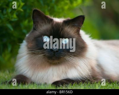 Ragdoll cat - Stock Photo