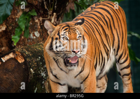 Malayan Tiger, a recently identified subspecies of tiger, found only in Thailand and peninsular Malaysia. - Stock Photo