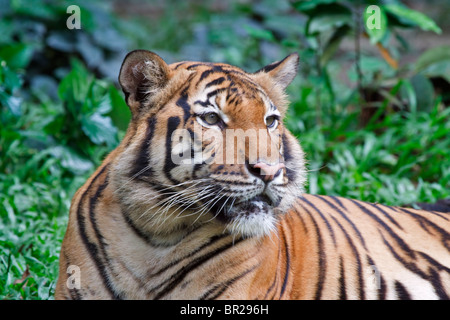 Malayan Tiger a recently identified subspecies found in Malaysia and Thailand. Endangered species. - Stock Photo