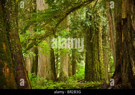 Grove of the Patriarchs Trail, Mount Rainier National Park, Washington. - Stock Photo