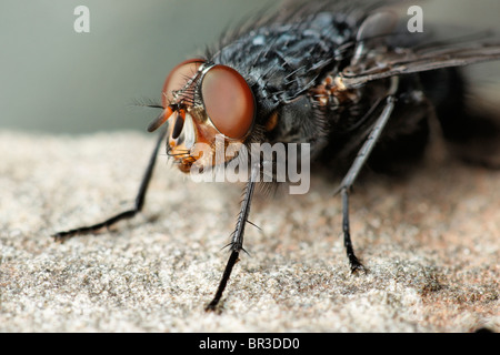 A Fly. Possibly a Common Flesh Fly, Sarcophaga carnaria - Stock Photo