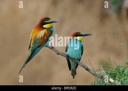 European Bee-eater (Merops apiaster) pair perched on twig, Bulgaria - Stock Photo