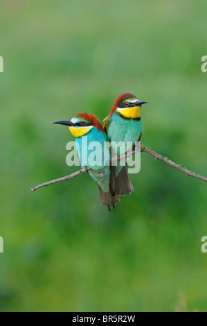 European Bee-eater (Merops apiaster) pair perched together on twig, Bulgaria - Stock Photo