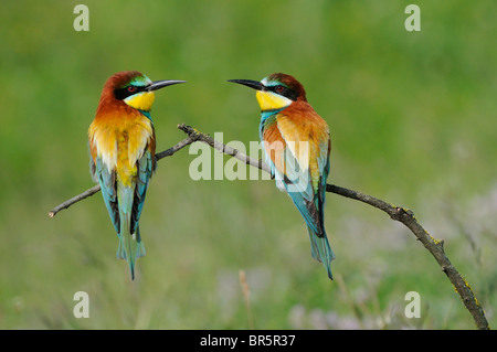 European Bee-eater (Merops apiaster) pair perched on branch, facing each other, Bulgaria - Stock Photo