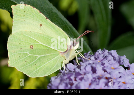 Common Brimstone Butterfly (Gonepteryx rhamni) taking pollen from a Buddleia plant. - Stock Photo