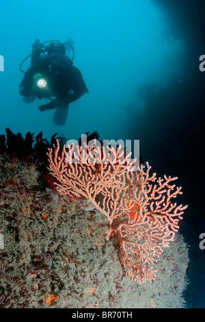 Diver with Warty / Pink sea fan coral {Eunicella verrucosa} Channel Islands, UK. Model Released. - Stock Photo