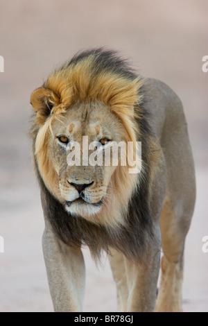 Black-maned African lion (Panthera leo) walking, Kgalagadi Transfrontier Park, South Africa - Stock Photo