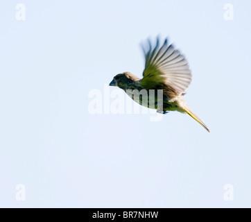 Greenfinch (Carduelis chloris) in flight, Warwickshire - Stock Photo