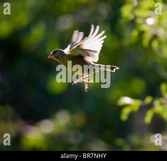 Backlit Greenfinch in flight, Warwickshire - Stock Photo
