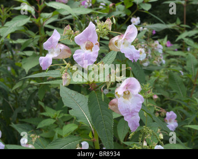 Himalayan or Indian Balsam (Impatiens glandulifera) an invasive non native plant growing in the UK - Stock Photo