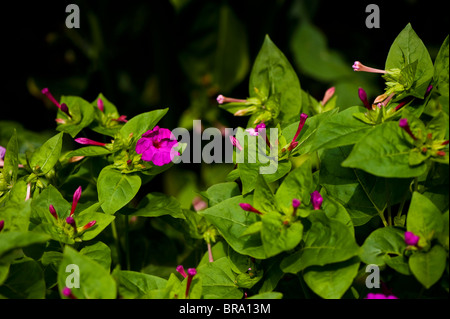 Mirabilis jalapa, Four O'clock Flower or Marvel of Peru, in flower - Stock Photo
