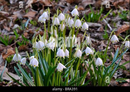 Spring snowflake flowers (Leucojum vernum) in forest - Stock Photo