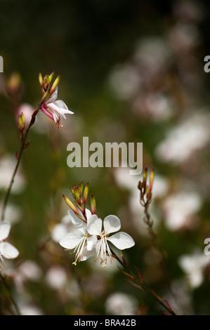 Gaura lindheimeri 'The Bride' in flower - Stock Photo