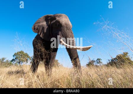 Elephant (Loxodonta africana), Abu Camp, Okavango Delta, Botswana, Africa - Stock Photo
