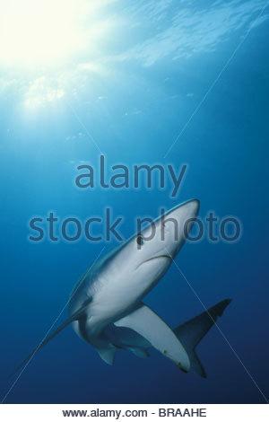 Great blue shark portrait {Prionace glauca} Channel Islands, California, USA - Stock Photo