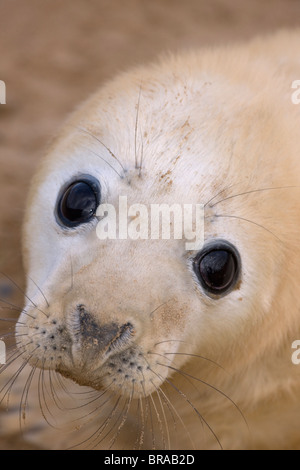 Grey seal (Halichoerus grypus) pup, portrait, UK - Stock Photo