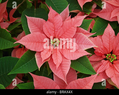 Poinsettia (Euphorbia pulcherrima ) make a display of red and green - Stock Photo