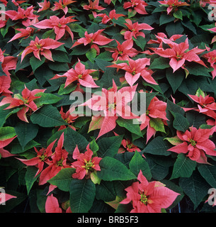 Poinsettia 'Marren' mature plant with pink bracts for Christmas market - Stock Photo