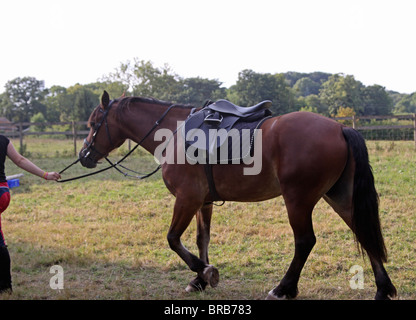 A beautiful bay Welsh Cob being lead around in his saddle and bridle - Stock Photo