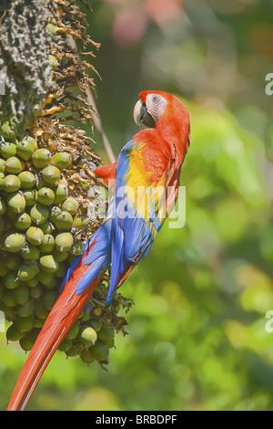 Scarlet macaw (Ara macao), Corcovado National Park, Osa Peninsula, Costa Rica, Central America - Stock Photo