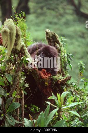 Mountain Gorilla (Gorilla gorilla beringei) juvenile, Virunga Volcanoes, Rwanda - Stock Photo