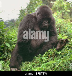 Mountain Gorilla (Gorilla gorilla beringei) young male, Virunga Volcanoes, Rwanda - Stock Photo