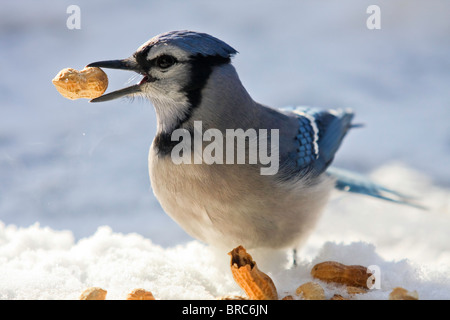 A blue jay - Cyanocitta cristata -  having a peanuts feast on a sunny but cold winter day. Quebec, Canada - Stock Photo