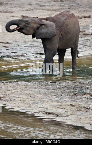 Forest elephant (Loxodonta cyclotis), Dzanga Bai, Dzanga-Sangha Reserve, Central African Republic - Stock Photo