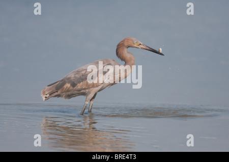 Reddish Egret (Egretta rufescens) - Juvenile with fish - Stock Photo