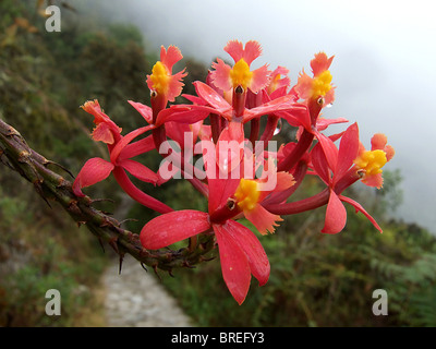 Winay Wayna Orchid (Epidendrum secundum) by the Inca Trail, Peru - Stock Photo
