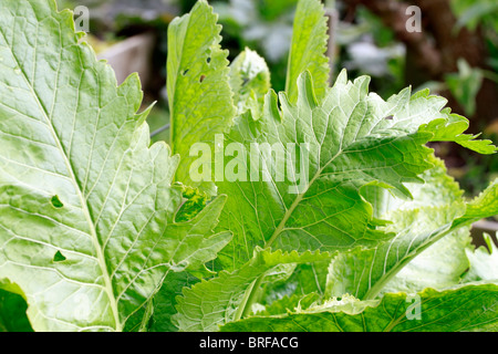 Horseradish, (Armoracia rusticana, syn. Cochlearia armoracia) is a perennial plant of the Brassicaceae family. Grown - Stock Photo