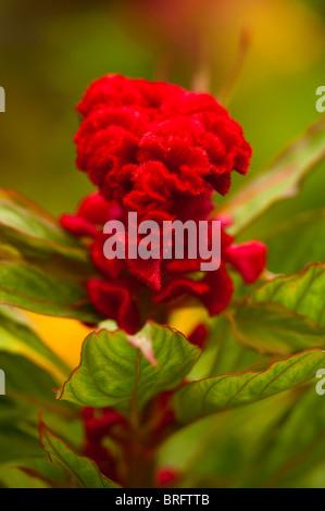 Cockscomb, Celosia argentea 'Chef en Melange', in flower - Stock Photo