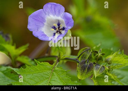 Nicandra physalodes, The Shoo Fly plant - Stock Photo