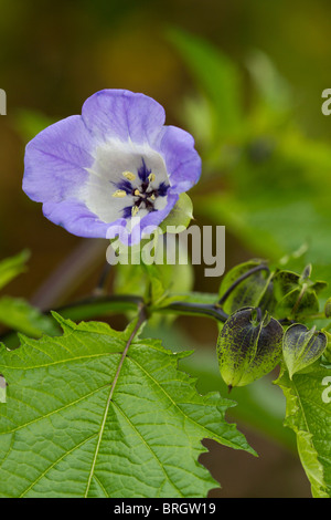 Nicandra physalodes, The Shoo Fly plant. - Stock Photo