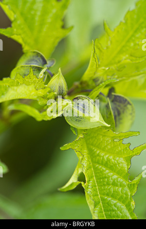 Nicandra physalodes. The Shoo Fly plant. - Stock Photo