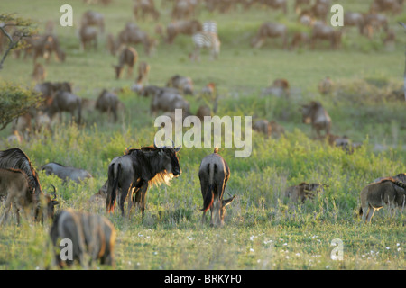 Lone white-bearded wildebeest herd out on the plains grazing during their migration, - Stock Photo