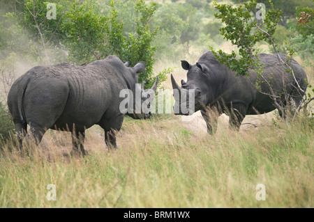 Two adult rhino facing each other during a confrontation - Stock Photo