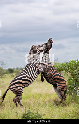 Two male zebras on their hind legs fighting and biting each other - Stock Photo