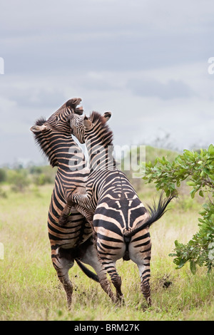 Two male zebras on their hind legs sparring  and biting each other - Stock Photo