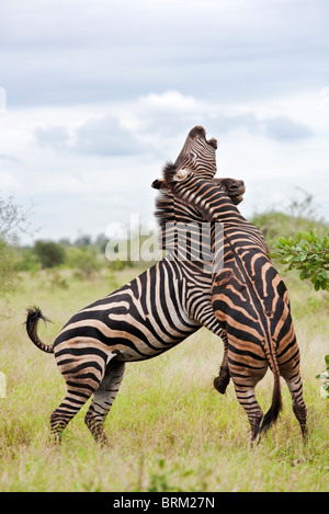 Two male zebras on their hind legs fighting - Stock Photo