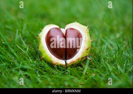 Aesculus Hippocastanum seed. Horse chestnuts. Conkers in the grass - Stock Photo