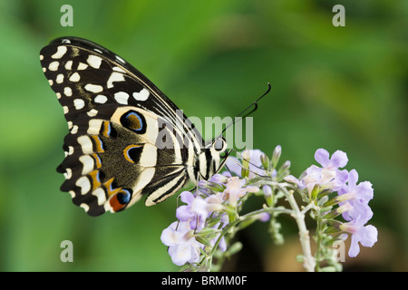 Citrus swallowtail butterfly (Papilio demodocus) feeding on nectar on a lilac flower - Stock Photo