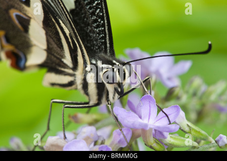 Close up of a citrus swallowtail butterfly (Papilio demodocus) feeding on nectar on a lilac flower - Stock Photo