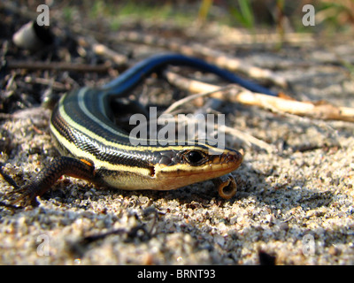 5-lined Skink (Eumeces fasciatus) - Stock Photo
