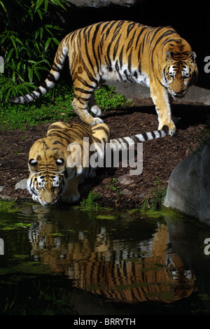 Two tiger - Stock Photo