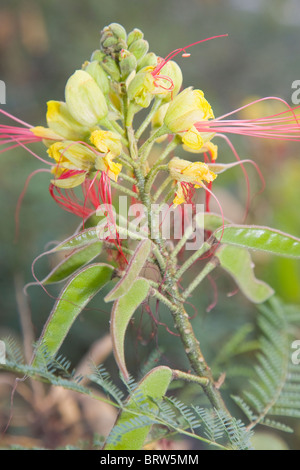 Caesalpinia gilliesii or the Bird of Paradise in flower with developing seed pods - Stock Photo